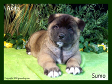 Akita puppies for sale. AKC champion bloodlines.